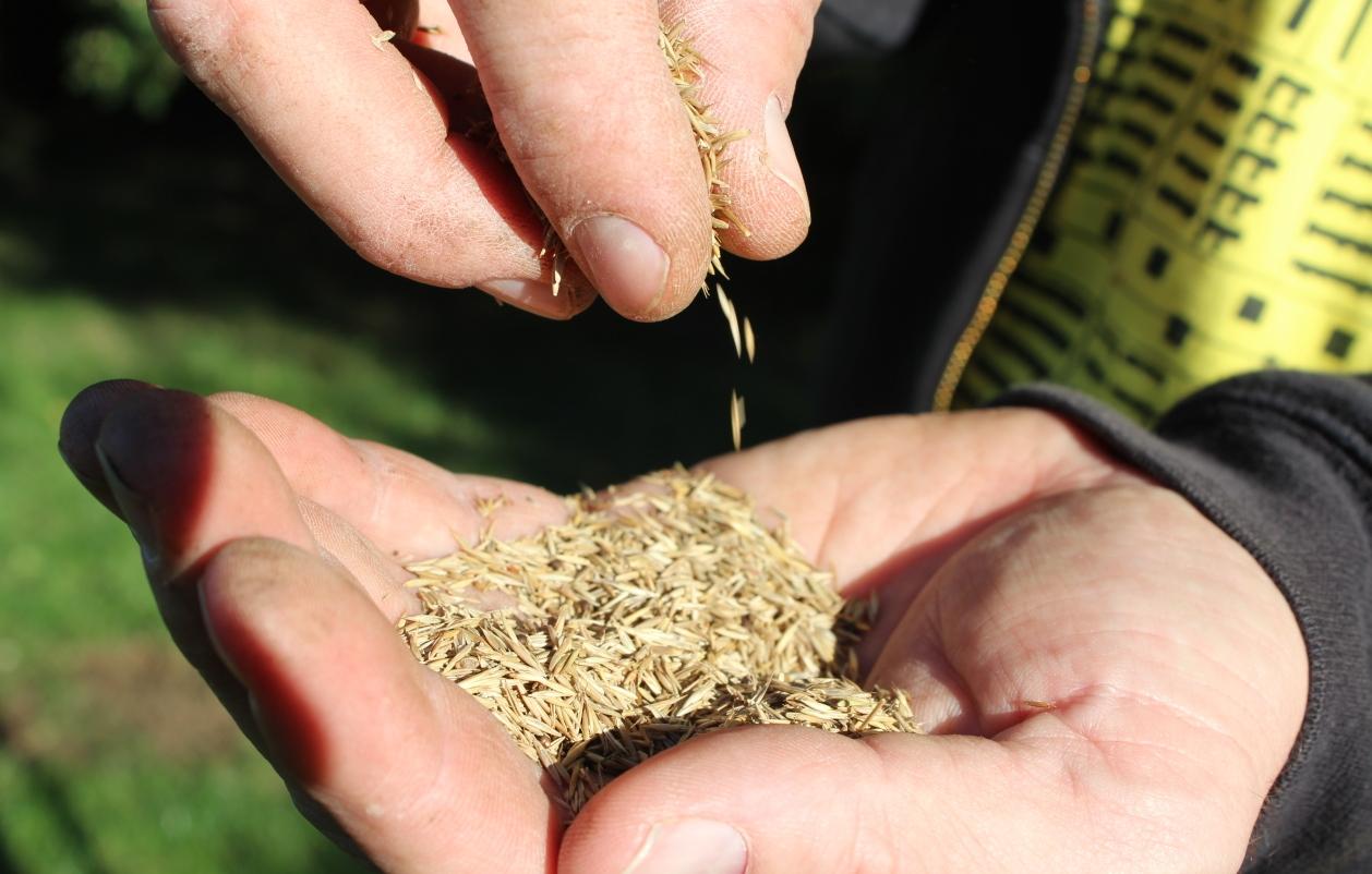 Rasen reparieren - Grassamen